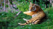 L'extinction des tigres d'Indochine est imminente selon le WWF