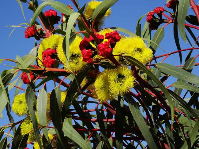 Eucalyptus: une plante dotée de nombreuses vertus