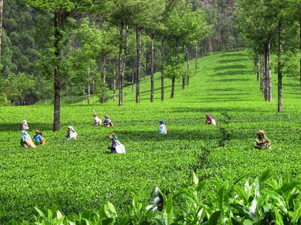 Tout savoir sur la culture du thé en Inde