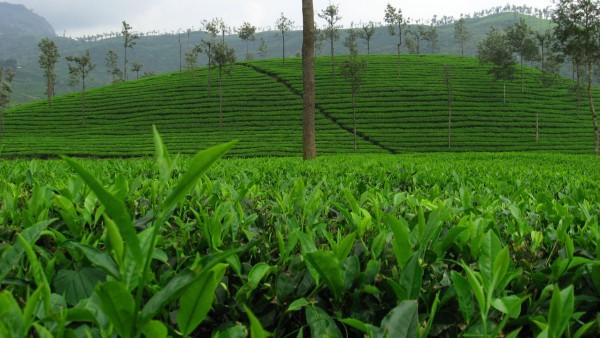 valparai-tea-estate