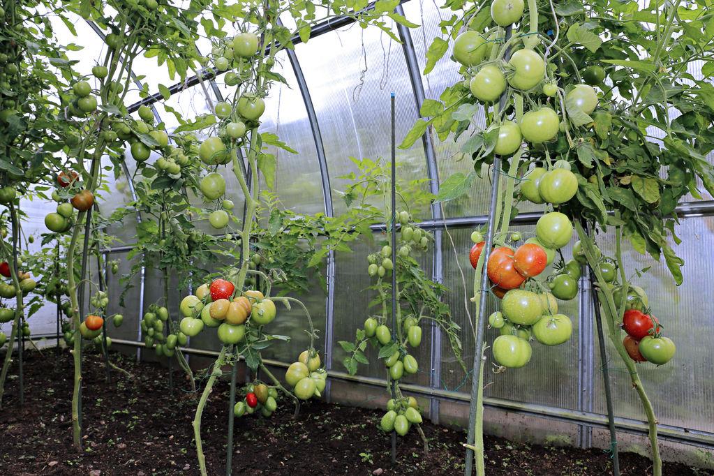 La serre à tomates : l'environnement idéal pour cultiver vos tomates !